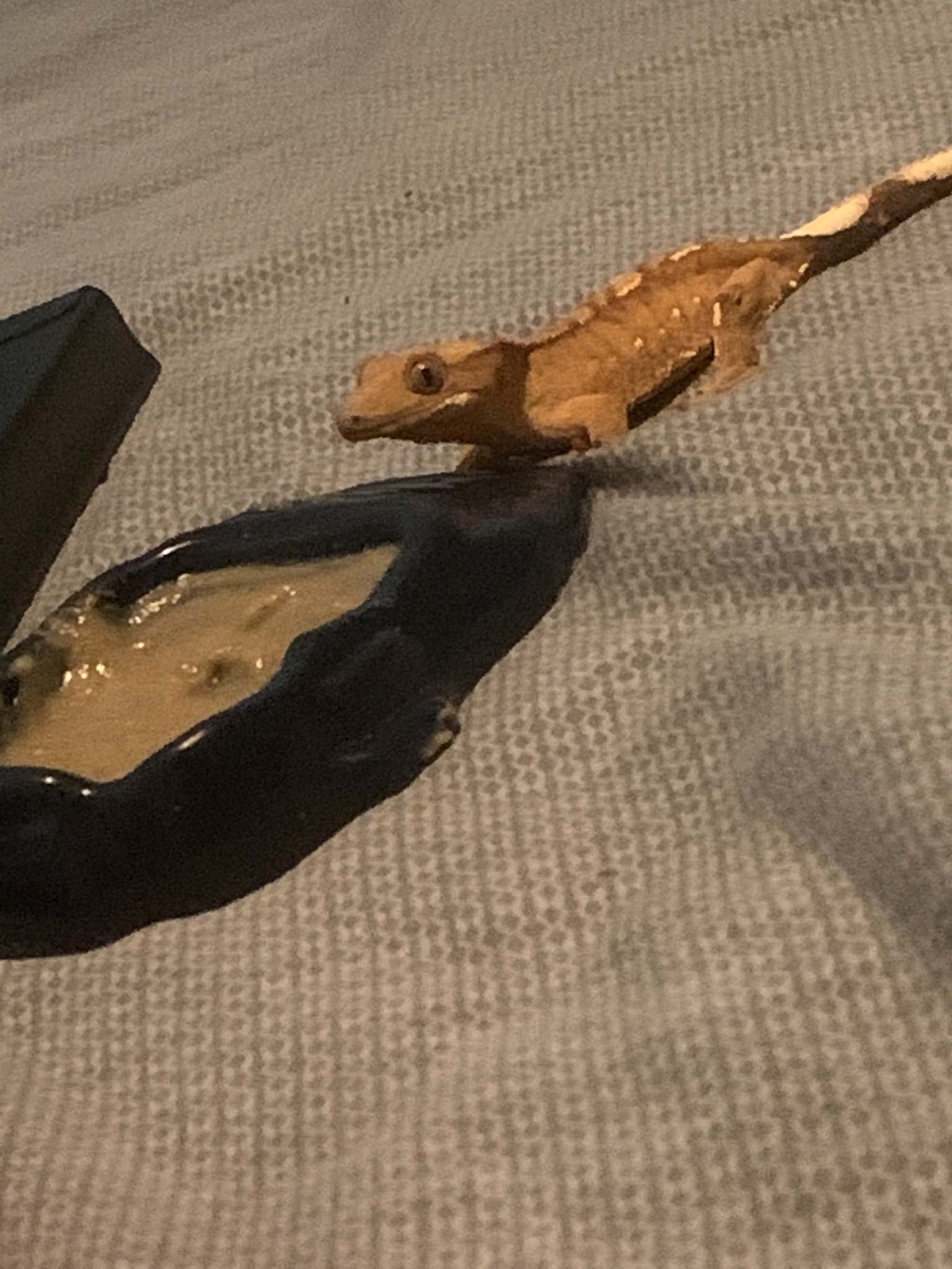 My crested gecko sandy !!!!❤️❤️❤️
